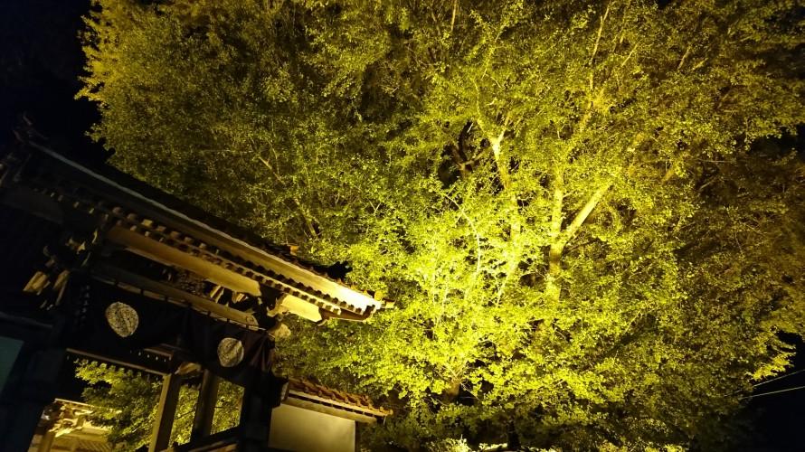 三瓶山・浄善寺の大イチョウ(島根県大田市三瓶町池田)