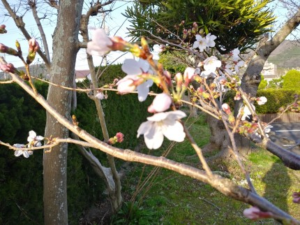 桜(大田市民会館)