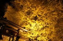 2019.11.28.浄善寺の大イチョウ